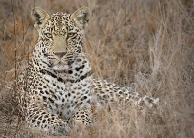 Leopard_MG_7002